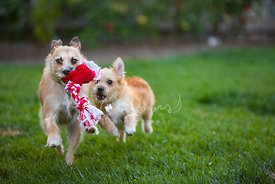 Two Terrier Dogs Running in Yard with Rope Toy