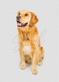 Attentive Golden Retriever Dog Sitting Looking Side
