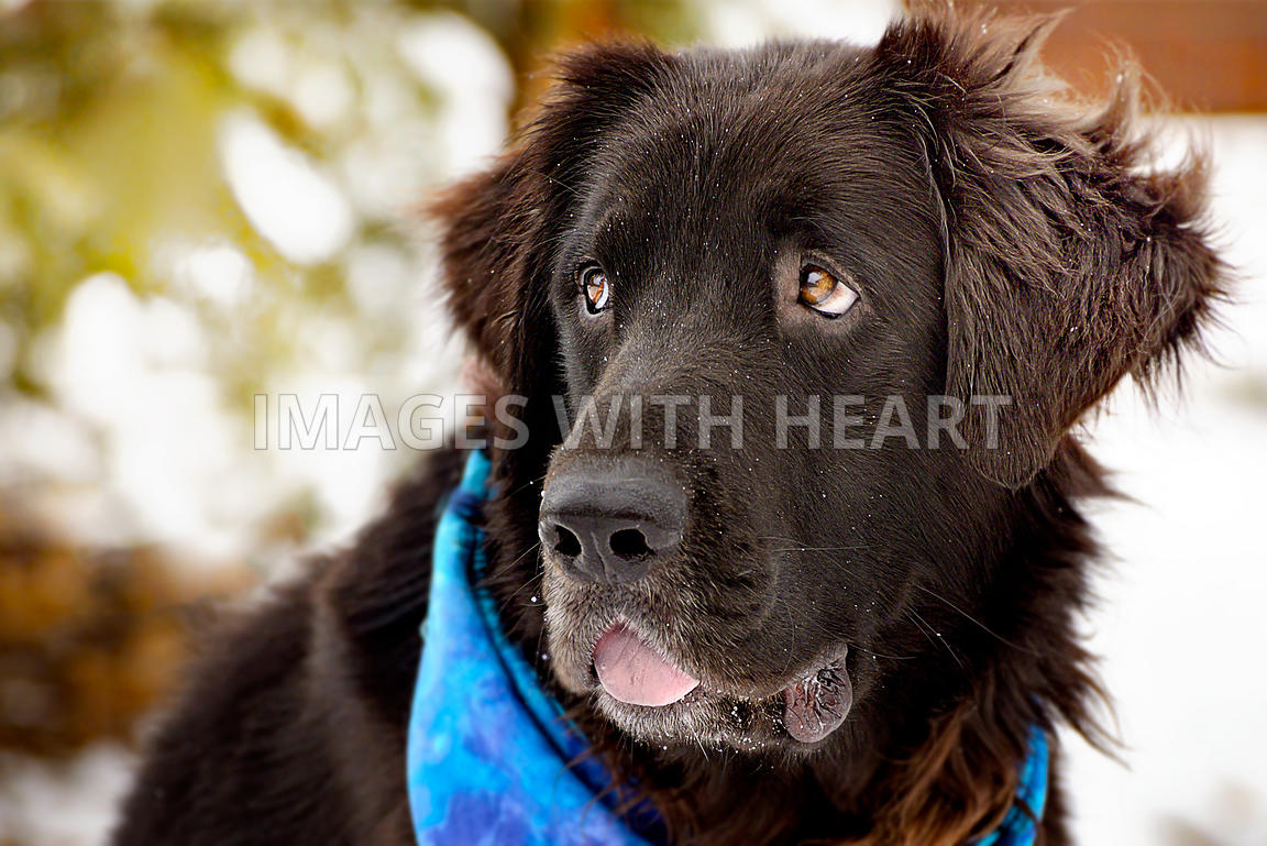 Newfie/Flat-Coated Retriever mix in snow with blue bandana