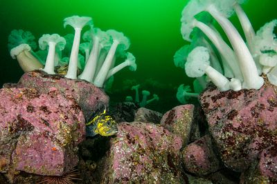 China Rockfish, Sebastes nebulosus, nestled among large boulders covered in Giant Plumose Anemone