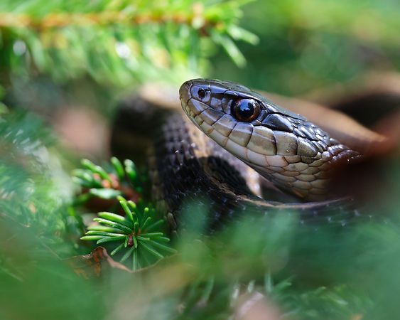 Short-headed Garter Snake