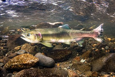 Pink Salmon Spawning sequence 1-10
