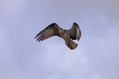 Osprey in flight with wings in upward sweep