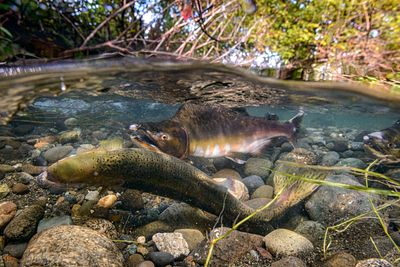 Pink Salmon Spawning sequence 2-04