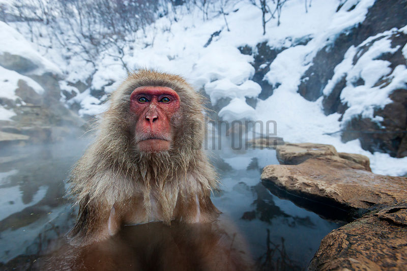 Japanese Macaque (Macaca Fuscata) Soaking in a Hot Spring