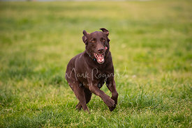 Labrador Running with Tongue Out to Side
