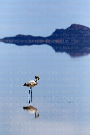 Chilean flamingo (Phoenicopterus chilensis) on Salar de Uyuni in rainy season, Bolivia
