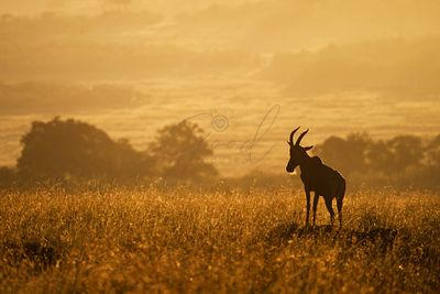 Topi on Mound in African Golden Sunrise
