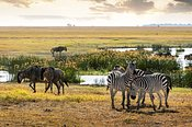 Zebra and Wildebeest in Amboseli Kenya Field