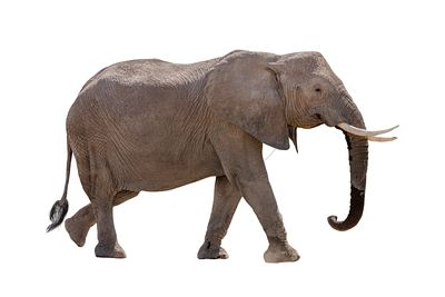 African Elephant Profile Walking Isolated