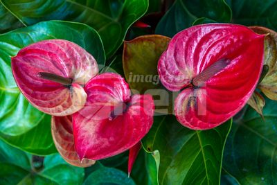 A red Anthurium plant in Maui, Hawaii