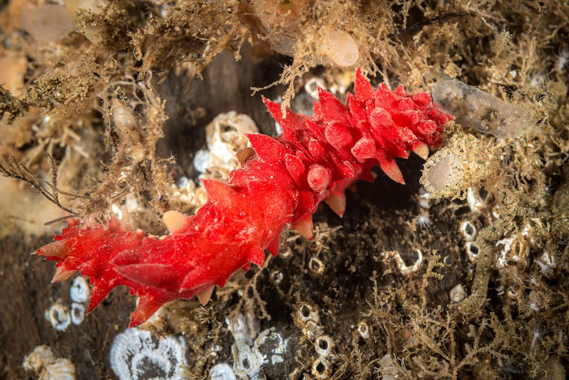 Juvenile Red Sea Cucumber, Apostichopus californicus.