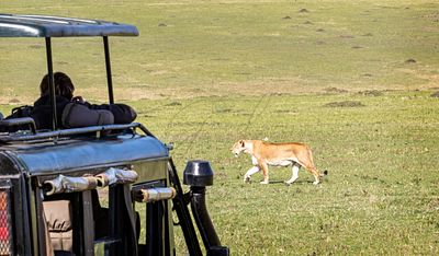 Safari Tourist Photographing Lioness Close to Vehicle