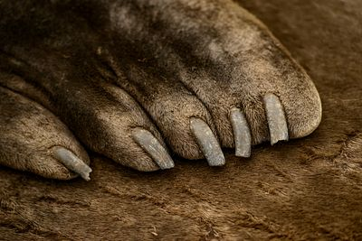 Closeup of front flippers of adult Elephant Seal, Mirounga angustirostris, showing its well developed claws.