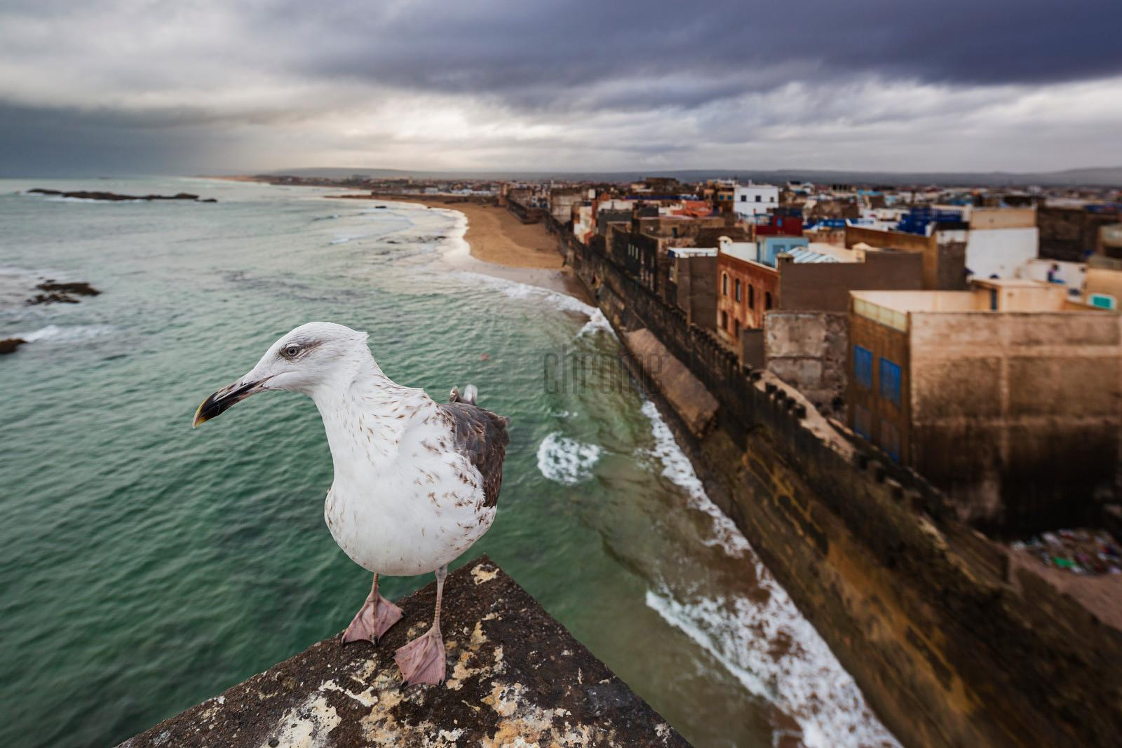 Seagull on a Parapet above the Walled City of Essaouira