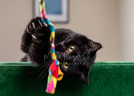 Black Cat Holding Wand toy with Claws