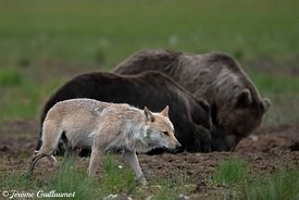 Gray Wolf and Brown Bear, Finland