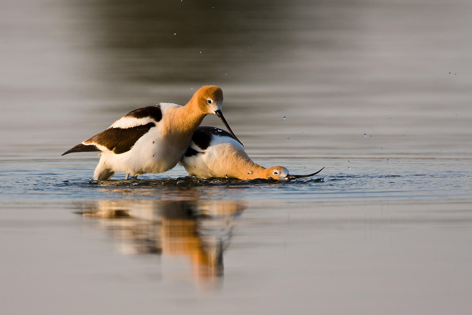 Avocet Courtship