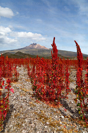 Field of Royal Quinoa / Quinua Real (Chenopodium quinoa), Tunupa volcano in background, Bolivia