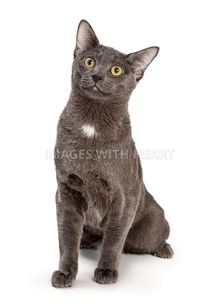 Cute Grey Cat Sitting Looking Up