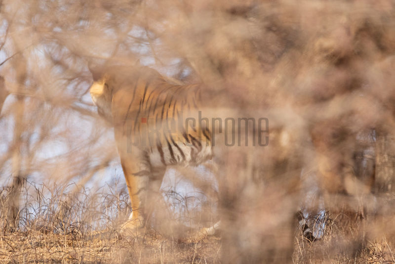 Tigress Photographed through a Bush