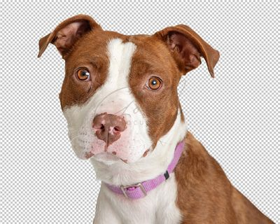 Brown and White Pit Bull Terrier Dog Closeup - Extracted
