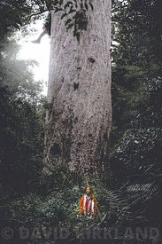 Te Manua  tree, Nortlands