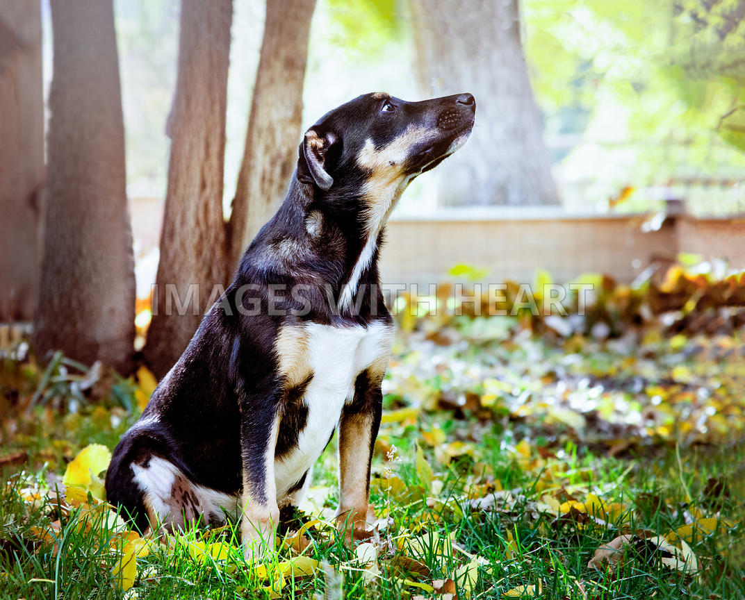Swiss Mountain Dog Puppy in Yard with Soft Sunrays and Trees