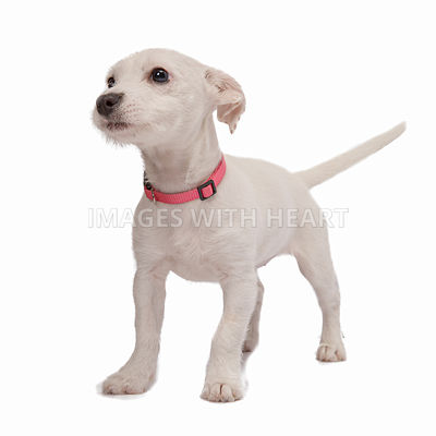 white puppy with pink collar