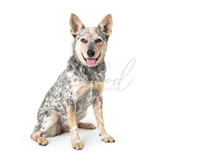 Happy Friendly Larhe Cattle Dog Sitting Smiling