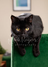 Black Cat Hanging over Green Couch