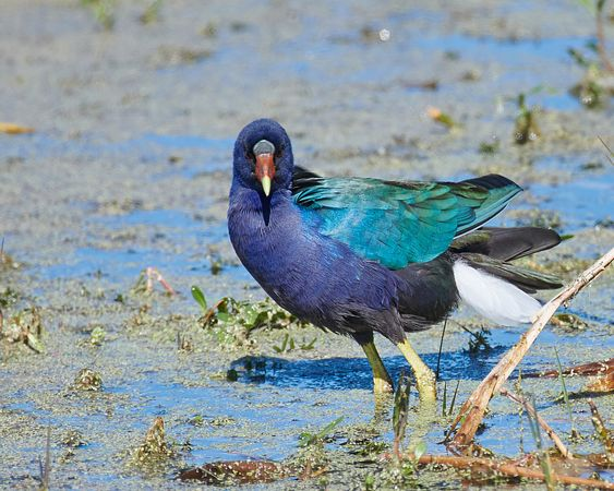 Purple-Gallinule-2557285-Full