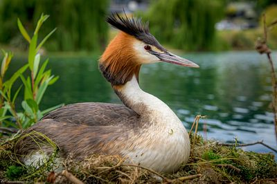 Crested Grebe stinng on it's clutch of eggs on a floating nest.