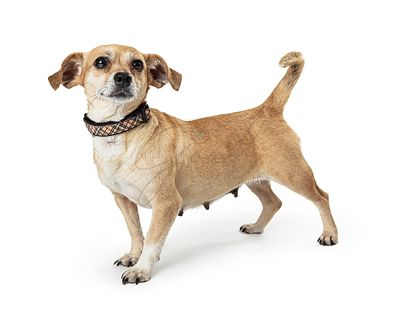 Female mixed breed small white and brown dog isolated