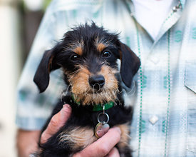 Close-up of Scruffy Puppy Held Against Mans Shirt