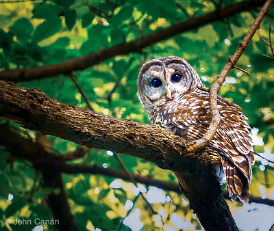 Barred Owl Greeting