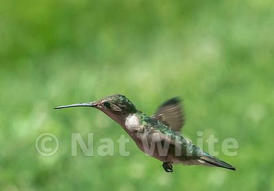 Hummingbird_RC_Date_(Month_DD_YYYY)1_2500_sec_at_f_9.0_NAT_WHITE