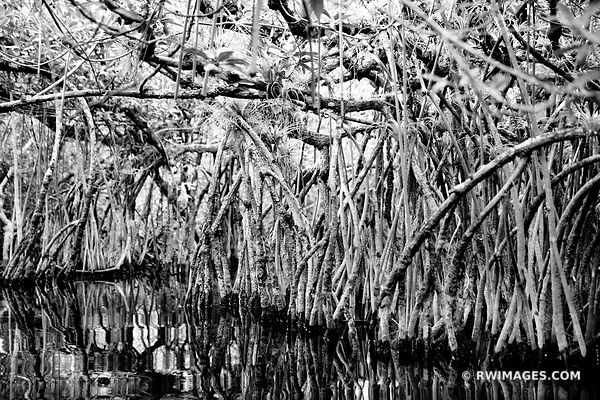 MANGROVE TUNNEL TURNER RIVER CANOE WATER TRAIL BIG CYPRESS NATIONAL PRESERVE EVERGLADES FLORIDA BLACK AND WHITE