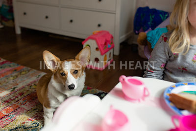 corgi in girls room playing