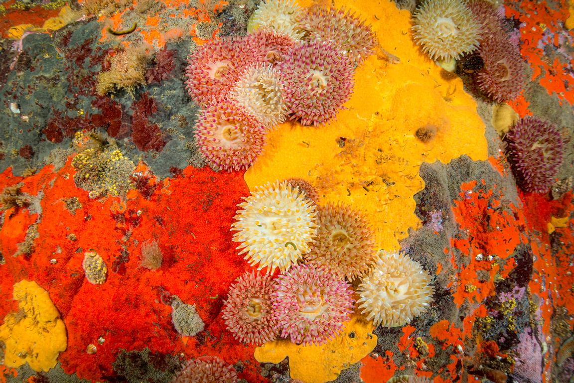 Painted Anemone and encrusting sponges make a vibrant pallette of colour.