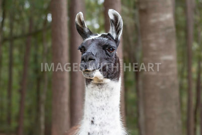 Close up of llama