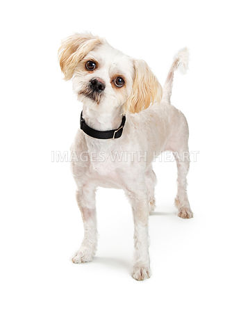 Attentive mixed breed small white dog isolated