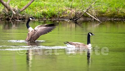 Goose_flap_Date_(Month_DD_YYYY)1_1600_sec_at_f_5.6_NAT_WHITE