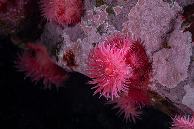 Vibrant pink Proliferating Anemone, Epiactis prolifera, in Seymour Narrows north of Campbell River, BC.