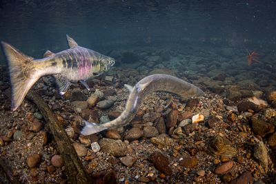 Chum salmon spawning sequence 2-03