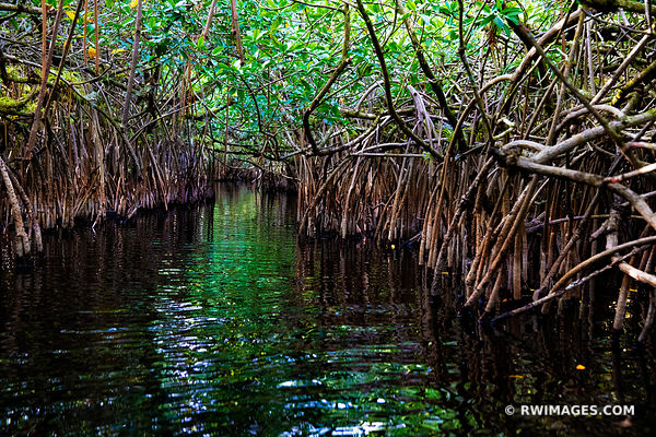 MANGROVE TUNNEL TURNER RIVER CANOE TRAIL BIG CYPRESS NATIONAL PRESERVE EVERGLADES FLORIDA