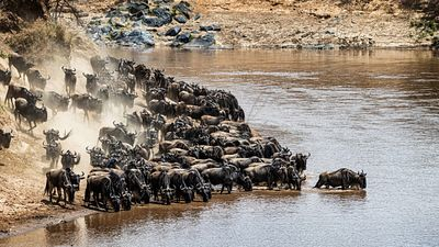 Leader of Pack of Wildebeest Testing Waters