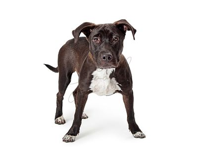 Black Pit Bull Dog White Chest