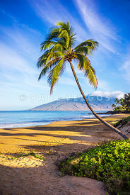 Maui Hawaii Curved Bent Palm Tree Photo