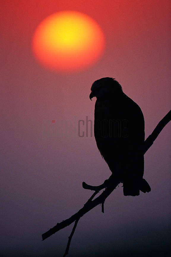 Black Collared Hawk at Sunrise